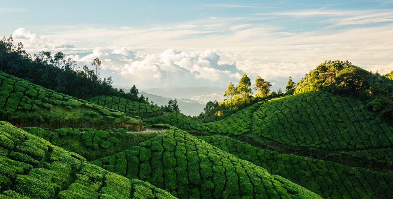 Kolukkumalai Tea Estate, Munnar, India
